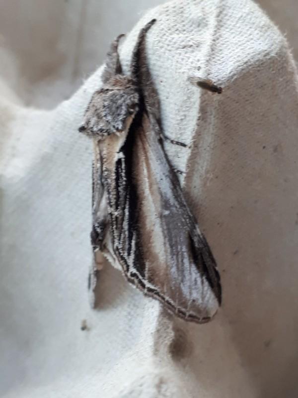 Brandvlerkvlinder - <em>Pheosia tremula</em> (onbekend)