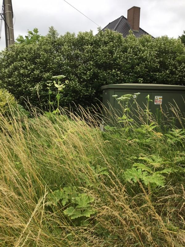 Reuzenberenklauw - <em>Heracleum mantegazzianum</em> (bloeiend)