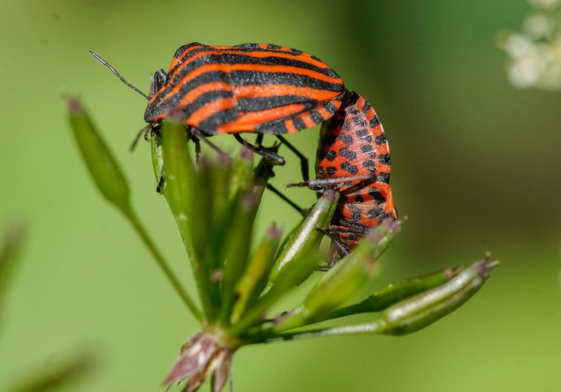 Pyjamaschildwants - <em>Graphosoma lineatum</em> (imago)