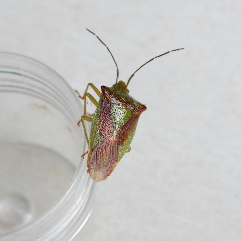 Meidoornkielwants - <em>Acanthosoma haemorrhoidale</em> (imago)