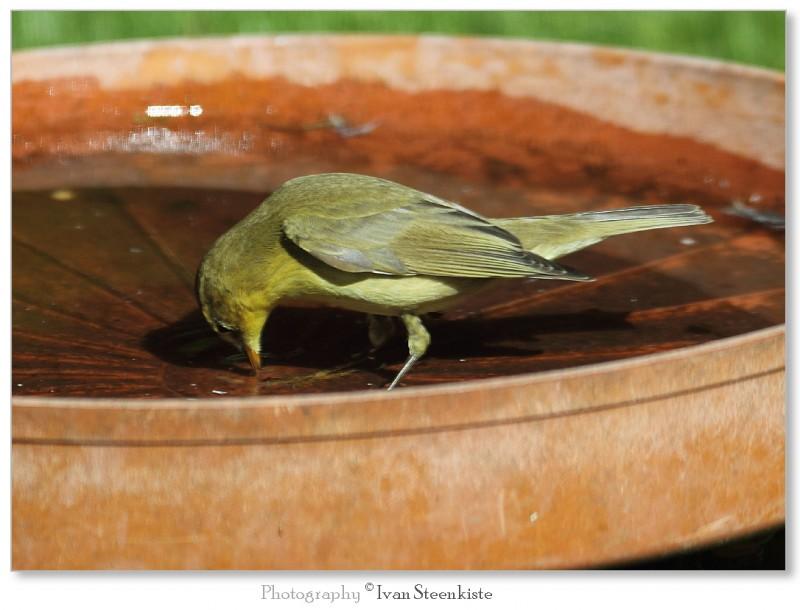 Fitis - <em>Phylloscopus trochilus</em> (juveniel)
