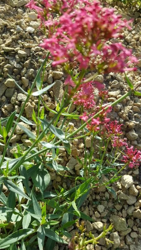 Spoorbloem - <em>Centranthus ruber</em> (onbekend)