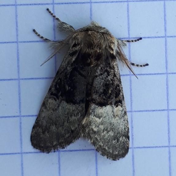 Hazelaaruil - <em>Colocasia coryli</em> (onbekend)