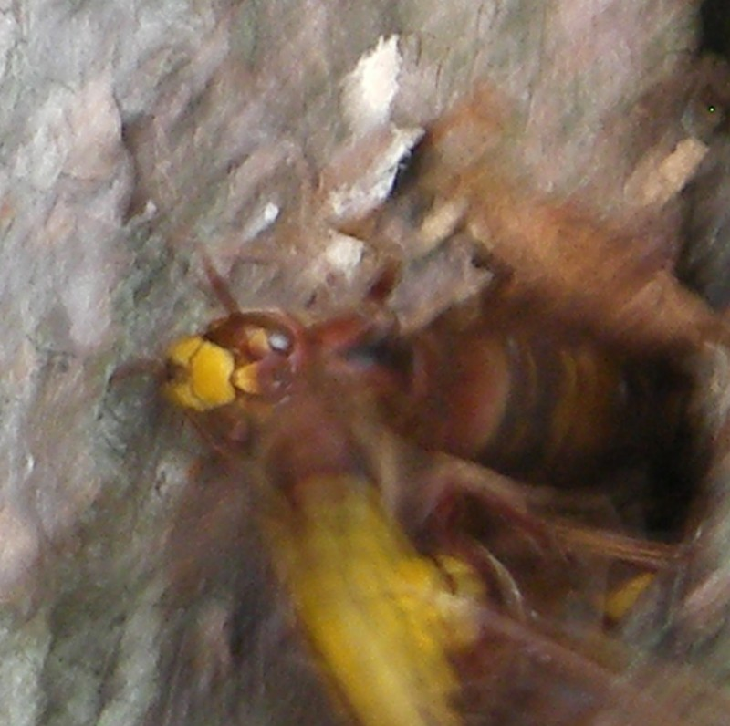 Hoornaar - <em>Vespa crabro</em> (imago)