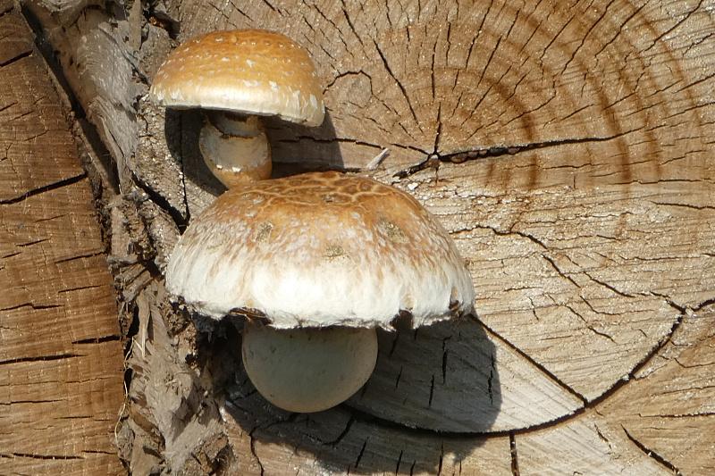 Wollige bundelzwam - <em>Hemipholiota populnea</em> (vruchtlichaam)