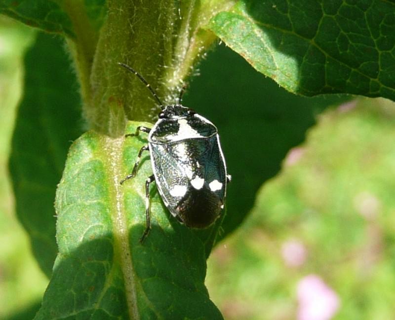 Koolschildwants - <em>Eurydema oleracea</em> (imago)