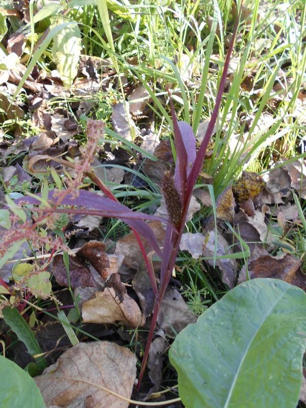Groene naaldaar - <em>Setaria viridis</em> (bloeiend)
