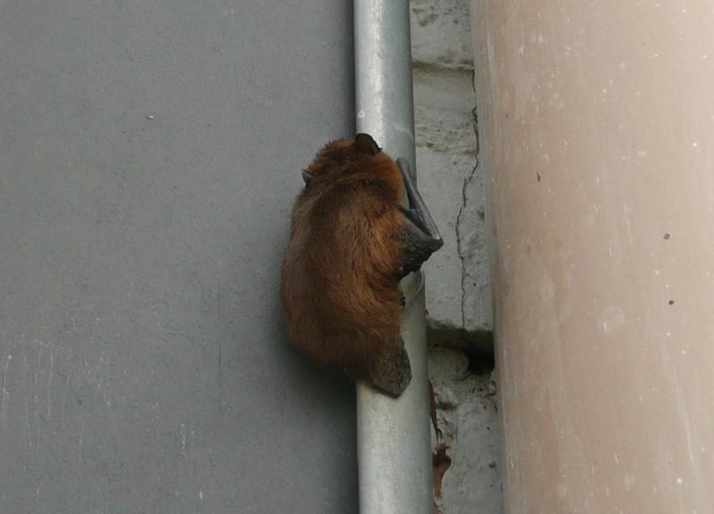 Gewone Dwergvleermuis - <em>Pipistrellus pipistrellus</em> (onbekend)