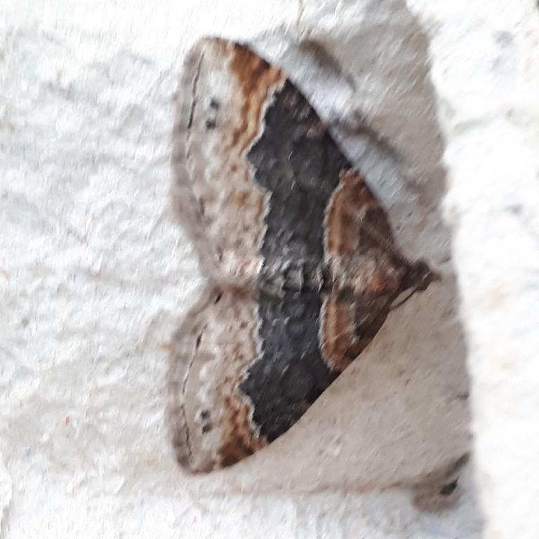Vierbandspanner - <em>Xanthorhoe ferrugata</em> (onbekend)