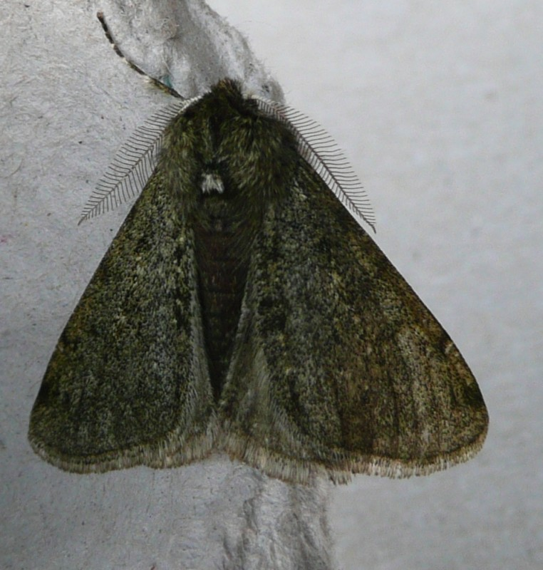 Perentak - <em>Phigalia pilosaria</em> (imago)