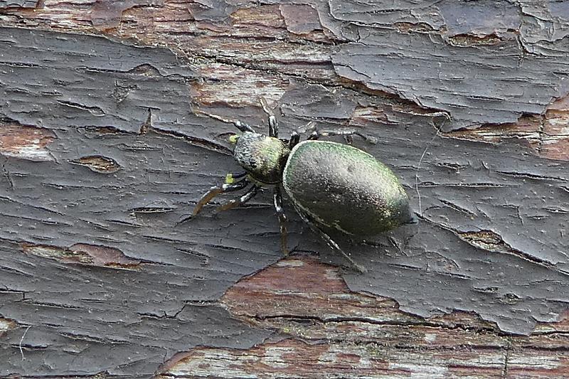 <em>Heliophanus spec.</em> (imago)
