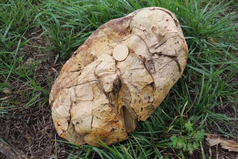 Reuzenbovist - <em>Calvatia gigantea</em> (vruchtlichaam)