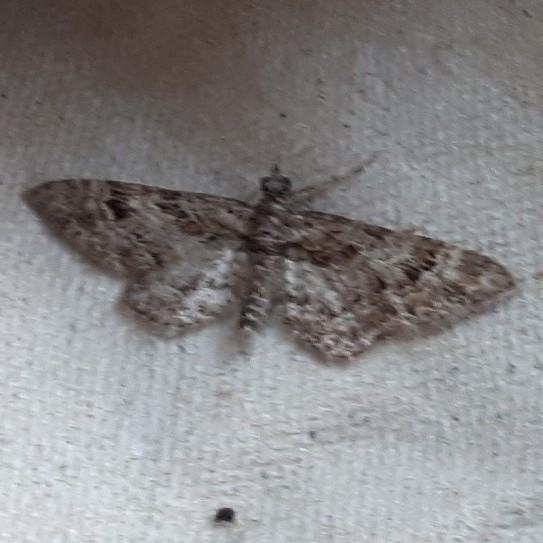Zwartkamdwergspanner - <em>Gymnoscelis rufifasciata</em> (onbekend)