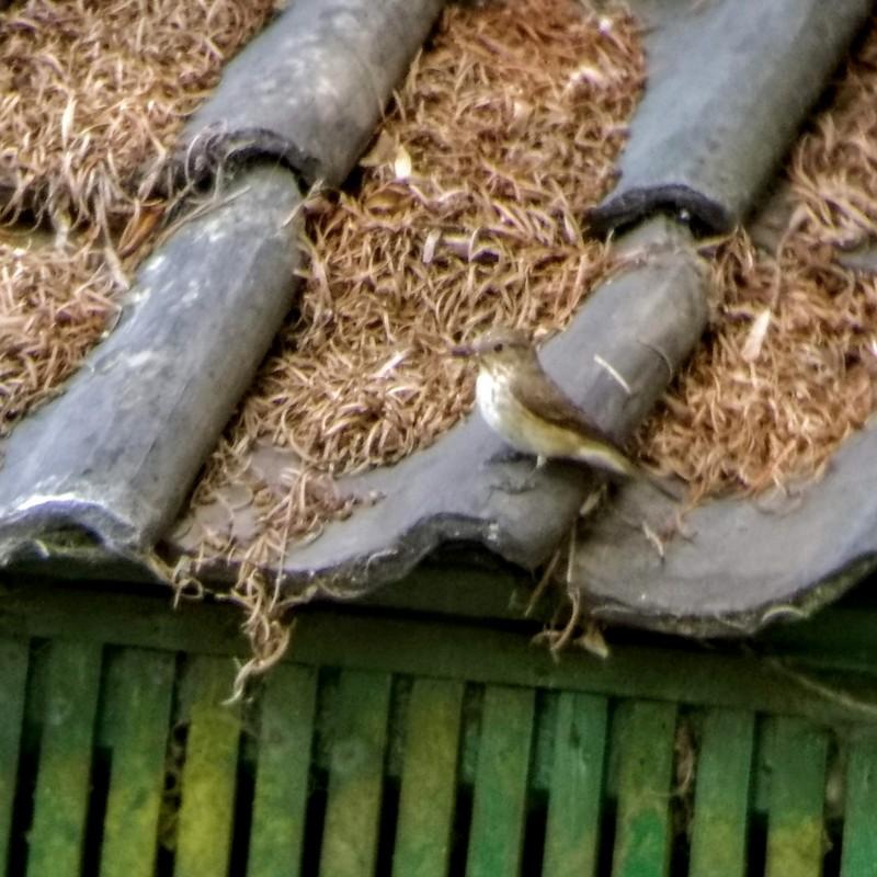 Grauwe Vliegenvanger - <em>Muscicapa striata</em>