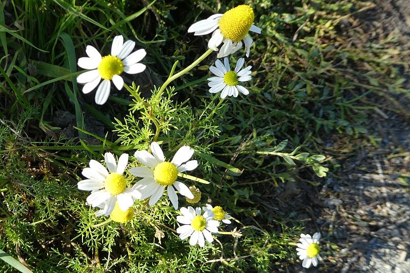 Reukeloze kamille + Echte kamille - <em>Tripleurospermum maritimum + Matricaria chamomilla</em> (bloeiend)