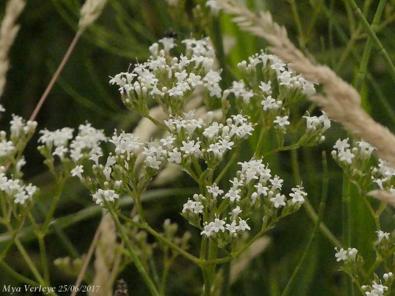 Echte valeriaan - <em>Valeriana officinalis</em> (vruchtdragend)