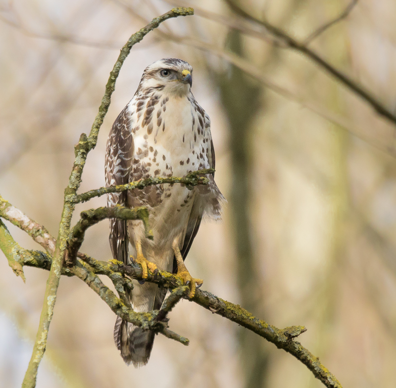 "Buizerd - <em>Buteo buteo</em> : <img alt=""Gebruikers beoordeling"" title=""Gebruikers beoordeling"" border=""0"" class=""icon"" src=""//wnimg.nl/static/ico/bullet_star.png""><img alt=""Gebruikers beoordeling"" title=""Gebruikers beoordeling"" border=""0"" class=""icon"" src=""//wnimg.nl/static/ico/bullet_star.png""><img alt=""Gebruikers beoordeling"" title=""Gebruikers beoordeling"" border=""0"" class=""icon"" src=""//wnimg.nl/static/ico/bullet_star.png""><img alt=""Gebruikers beoordeling"" title=""Gebruikers beoordeling"" border=""0"" class=""icon"" src=""//wnimg.nl/static/ico/bullet_star.png""> 4 stem(men)"