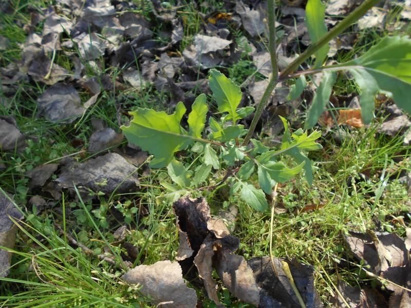 Zwaardherik s.s. - <em>Eruca vesicaria subsp. sativa</em> (bloeiend)