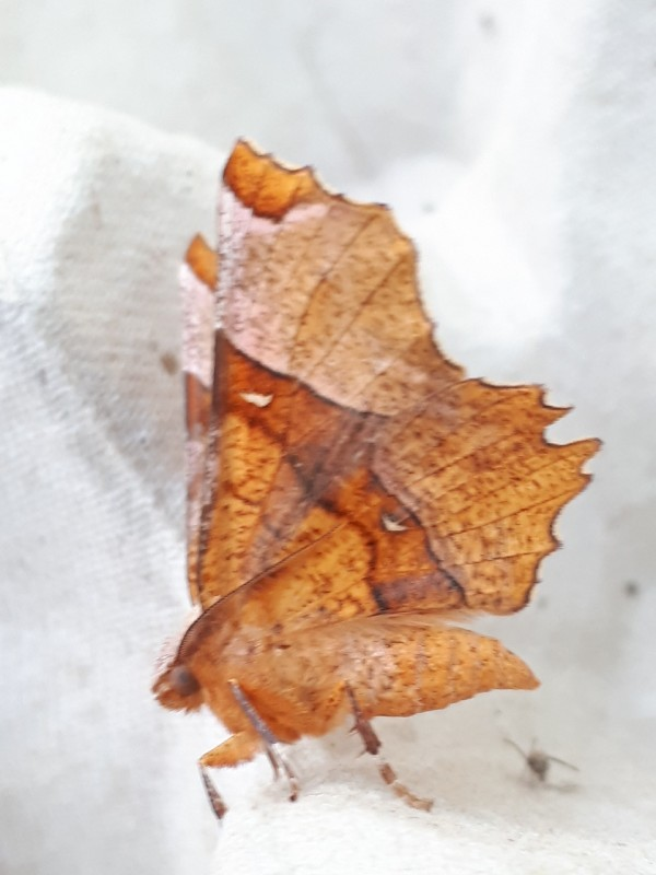 Lindeherculesje - <em>Selenia lunularia</em> (onbekend)