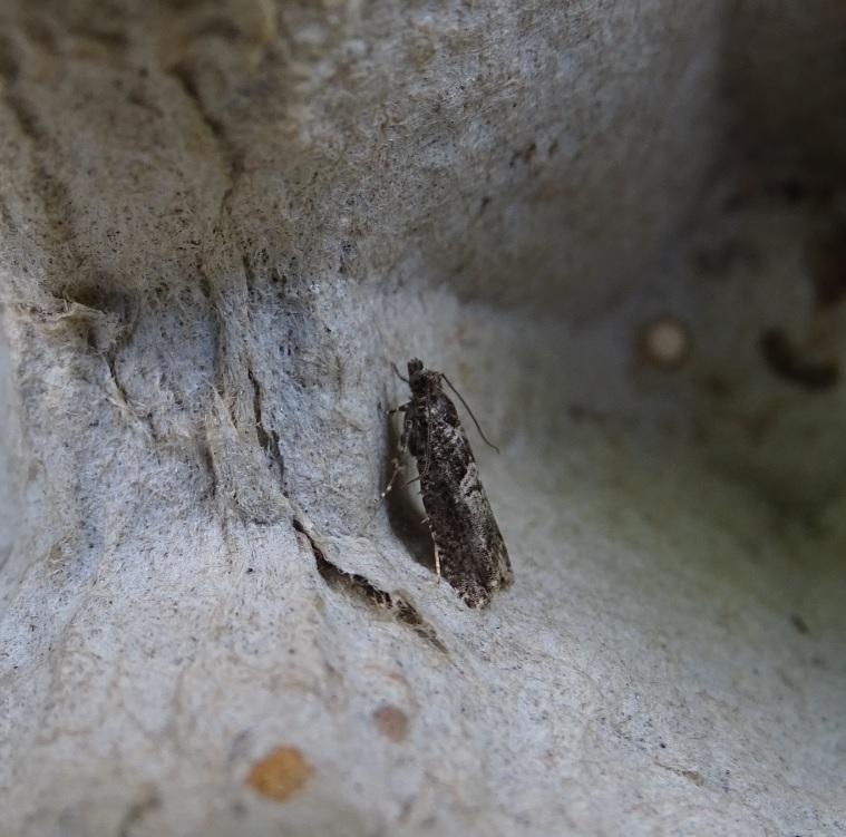 Elzenoogbladroller - <em>Epinotia immundana</em> (imago)