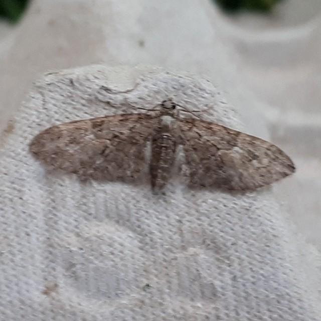 Voorjaarsdwergspanner - <em>Eupithecia abbreviata</em> (onbekend)