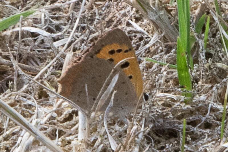 Kleine vuurvlinder - <em>Lycaena phlaeas</em> (onbekend)