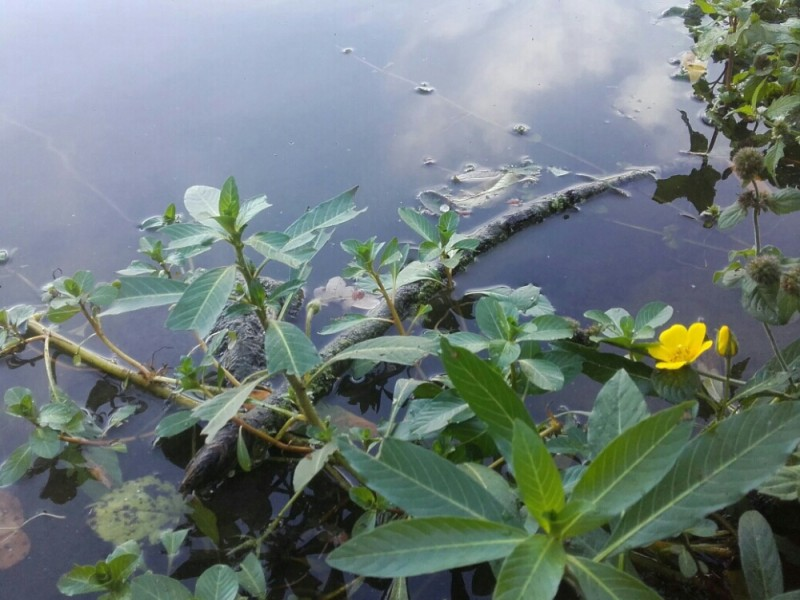 Waterteunisbloem - <em>Ludwigia grandiflora</em> (bloeiend)
