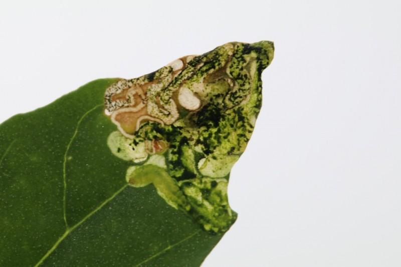 Gloriemot - <em>Chrysoesthia drurella</em> (mijn)