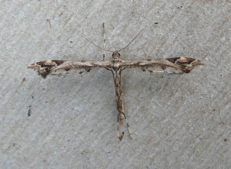 Scherphoekvedermot - <em>Amblyptilia acanthadactyla</em> (imago)
